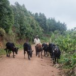 A shepherd in western Uganda (Kabale district) with his herd of cows. Farm animals are particularly common here, as climatic conditions are favourable.